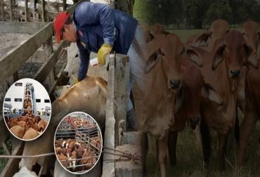 Colombia, Fiebre aftosa, competitividad de la ganadería colombiana instrumentos para mejorar la competitividad de la ganadería colombiana, compra de ganado en participación entre Fedegán y los ganaderos, el establecimiento de clúster ganaderos, y de una plataforma exportadora, un programa piloto de embriones y preñeces en ganaderías de leche, creación de una marca propia de medicamentos de Fedegán, Ministerio de Agricultura y Desarrollo Rural, ICAPolicia Nacional CONtexto ganadero, noticias ganaderas de col