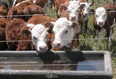 Consumo agua vacas, agua para las reses, agua vacas, ingesta agua vacas, cuánta agua debo dar a cada vaca, Calidad y cantidad de agua que requieren los bovinos, Agua, nutrición, Ganadería, Ganadería colombiana, noticias ganaderas, noticias ganaderas colombia, CONtexto ganadero