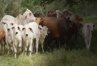 ganaderia, ganaderia colombia, ganaderia colombia, contexto ganadero, noticias ganaderas, noticias ganaderas colombia, cria, incentivar la cria, mejoramiento genetico de la cria, la cria en colombia, criar animales, crias ganado bovino, ganaderos, ganaderos colombia