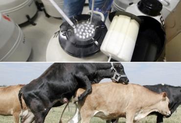 Ganadería, ganadería colombia, Ganadería colombiana, CONtexto ganadero, noticias ganaderas, noticias ganaderas colombia, semen bovino, monta natural calidad semen bovino, fertilidad semen bovino, inseminación artificial, ganaderos, ganaderos colombia
