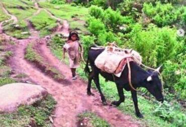 Razas criollas colombianas, raza criolla Serrana, ganado de los indígenas Kogui, ganado de las alturas, ganado de la Sierra Nevada