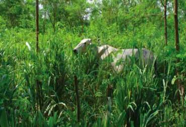 SSPi Intensivo con leucaena, SSPI, Sistema Silvopastorel Intensivo, sistemas ganaderos, pastos mejorados, Alimentación para el ganado, Ganadería Sostenible