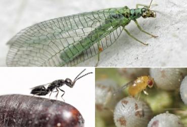 controladores biológicos de plagas, Organismos benéficos, enemigos naturales de insectos plaga, control de plagas en predios ganaderos, control de plagas en sistemas silvopastoriles