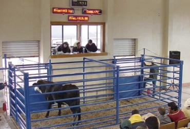 ganadería, ganaderia colombia, ganaderia colombiana, contexto ganadero, noticias ganaderas, noticias ganaderas colombia, ganaderos colombia, ganaderos, bascula, subasta, subagan, tiempo de recibo, ganado