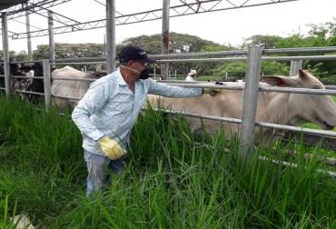 Segundo ciclo, vacunación contra aftosa, Córdoba, Cesar, protección animal, vacunación contra Brucelosis, salud animal, hato bovino, predios, noticias de ganadería colombiana, CONtexto ganadero.