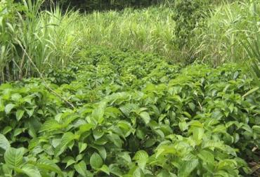 7 Acciones A Tener En Cuenta En El Manejo De Los Bancos Forrajeros Mixtos Contexto Ganadero Noticias Principales Sobre Ganadería Y Agricultura En Colombia