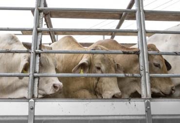 Ganadería, ganadería colombia, Ganadería colombiana, CONtexto ganadero, noticias ganaderas, noticias ganaderas colombia, transporte animal, transporte bovino, transporte terrestre, codigo terrestre, OIE, estrés bovino, ganaderos, ganaderos colombia