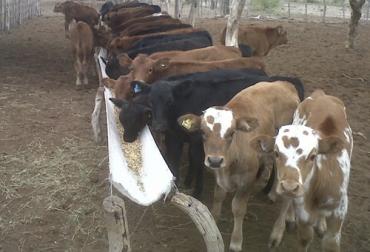 Destete, destete en bovinos, destete vacas, destete tradicional, destete anticipado, destete temporario, destete precoz, destete hiperprecoz, tipos de destete, destete en ganado vacuno, coronavirus, COVID-19, cuarentena, Ganadería, ganadería colombia, noticias ganaderas, noticias ganaderas colombia, CONtexto ganadero