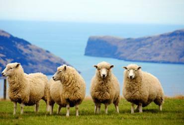 ganadería, ganadería colombia, noticias ganaderas, noticias ganaderas colombia, contexto ganadero, ovejas, huela de carbono ovejas, medir huella de carbono en ovejas, huella de carbono de ovinos y caprinos, argentina, ovejas de argentina,