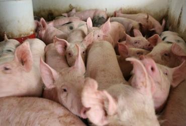 Ganadería, ganadería colombia, noticias ganaderas, noticias ganaderas colombia, CONtexto ganadero, ganaderos colombia, ganaderos, gripe porcina, gripa porcina, amenaza gripa porcina, nueva gripa porcina, descrubrimiento gripa porcina, descubrimiento G4, G4 nueva gripa porcina, cientificos descrubren nueva gripa porcina, granjas chuna, granjas de cerdos china, cerdos china, vigilancia gripa porcina, H1N1