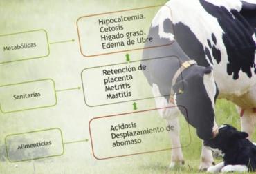 Ganadería, ganadería colombia, noticias ganaderas, noticias ganaderas colombia, CONtexto ganadero, periodo de transición, periodo de transición de la vaca, suplementación periodo de transición de la vaca, enfermedades periodo de transición de la vaca