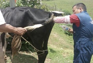 reproducción de la vaca, ciclo productivo de la vaca lechera, tipo de reproduccion de la vaca wikipedia, como se llama la reproduccion de la vaca, reproduccion del ganado bovino, frases de ganaderos, reproduccion en bovinos, tecnicas de reproduccion en bovinos, ganado bovino, ganadería bovina, Ganadería, ganadería colombia, noticias ganaderas, noticias ganaderas colombia, CONtexto ganadero, contextoganadero