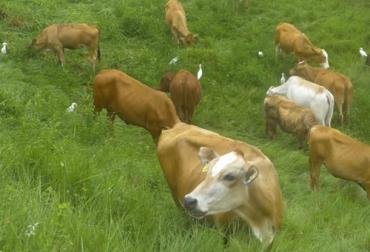 ganadería, ganadería colombia, noticias ganaderas, noticias ganaderas colombia, contexto ganadero, sistema integrado, ganadería integrada, agricultura integrada, integración agricultura ganadería y actividad forestal, actividad forestal, pasos para integrar ganadería, sistemas integrados de cultivo y ganadería