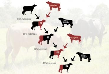 Heterosis en ganado bovino, heterosis ganadería vacuna, heterosis vacas, importancia heterosis, cruzamiento en ganado bovino, cruzamiento ganado vacuno, vigor híbrido, cruces en bovinos, cruzamientos bovinos, crías superiores a sus padres, mejoramiento genético, ganaderos, ganaderos colombia, ganado, bovinos, ganado bovino, Ganadería, ganadería colombia, noticias ganaderas, noticias ganaderas colombia, CONtexto ganadero, contextoganadero