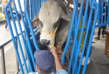 ganadería, ganadería colombia, noticias ganaderas, noticias ganaderas colombia, contexto ganadero, mejoramiento genético, recomendaciones mejoramiento genético, puntos clave mejoramiento genético, programas de mejoramiento genético, iniciar un programa mejoramiento genético