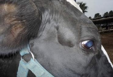 Enfermedades corazón vacas, enfermedades cardiovasculares vacas, corazón, Sistema circulatorio de los bovinos, sistema cardiovascular, sistema circulatorio vacas, corazón vacas, corazón bovinos, sistema circulatorio de los vacunos, sistema linfático, ganaderos, ganaderos colombia, ganado, vacas, vacas Colombia, bovinos, Ganadería, ganadería colombia, noticias ganaderas, noticias ganaderas colombia, CONtexto ganadero, contextoganadero