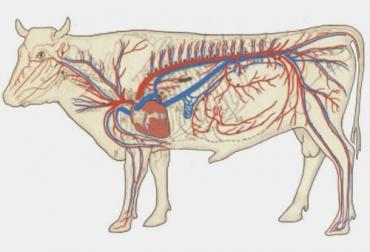 Sistema circulatorio de los bovinos, sistema cardiovascular, sistema circulatorio vacas, corazón vacas, corazón bovinos, sistema circulatorio de los vacunos, corazón, sistema linfático, sistema porta hepático, ganglios linfáticos, vasos linfáticos, ganaderos, ganaderos colombia, ganado, vacas, vacas Colombia, bovinos, Ganadería, ganadería colombia, noticias ganaderas, noticias ganaderas colombia, CONtexto ganadero, contextoganadero