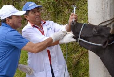ganadería, ganadería colombia, noticias ganaderas, noticias ganaderas colombia, contexto ganadero, producción ganadera, producción ganadera sostenible, desparasitar bovinos, tiempo para desparasitar bovinos, ciclo de vacunación, vacunación contra aftosa y brucelosis bovina, desparasitar antes de vacunar