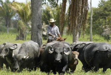 Ganadería, ganadería colombia, noticias ganaderas, noticias ganaderas colombia, CONtexto ganadero, Búfalos, ganado bufalo, manejo del ganado bufalino, ganado vacuno, búfalos y bovinos, diferencia entre búfalos y bovinos