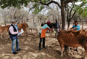 Colombia, campaña de vacunación contra la fiebre aftosa, fiebre aftosa, vacunación bovina, Brucelosis, Rabia, vacas, vacas Colombia, lechería, bovinos, ganadería bovina, ganadería bovina Colombia, noticias ganaderas, noticias ganaderas Colombia, contextoganadero