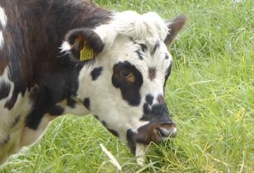 ganadería, ganadería colombia, noticias ganaderas, noticias ganaderas colombia, contexto ganadero, rumen, microbiología ruminal, microbiología, nitrógeno, nitrito, nitrato