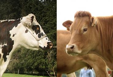 Ganado normando, ganado limousin, cruces normando, cruces limousin, normando, limousin, simmental, guzerat, blanco orejinegro, rendimiento ganado, razas bovinas para producción, producción ganadera, razas bovinas, cruces bovinos para mayor productividad, ganado bovino, ganadería bovina, ganaderos, ganaderos colombia, ganado, vacas, vacas Colombia, bovinos, Ganadería, ganadería colombia, noticias ganaderas, noticias ganaderas colombia, CONtexto ganadero, contextoganadero