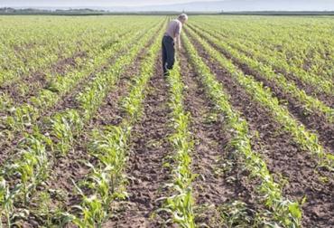 Sembrar maíz, recomendaciones para sembrar maíz, cultivo de maíz, maíz para ensilaje, maíz ensilaje ganadería, maíz en colombia, rendimientos del cultivo de maíz, claves para un buen cultivo de maíz, aspectos a tener en cuenta a la hora de sembrar maíz, ganado bovino, ganadería bovina, ganaderos, ganaderos colombia, ganado, vacas, vacas Colombia, bovinos, Ganadería, ganadería colombia, noticias ganaderas, noticias ganaderas colombia, CONtexto ganadero, contextoganadero