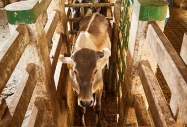 Fiebre aftosa, Colombia, primer ciclo de vacunación 2021, Fedegán, Fedegán-FNG, ICA, bovinos, bufalinos, José De Silvestri, Deyanira Barrero León, Brucelosis, Rabia, vacas, vacas Colombia, lechería, bovinos, ganadería bovina, ganadería bovina Colombia, noticias ganaderas, noticias ganaderas Colombia, contextoganadero