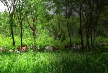 Fedegán, Proyecto Ganadería Colombiana Sostenible, GCS, sistemas silvopastoriles intensivos, SSPi, producción lechera, transformación de fincas, 3.8 millones de árboles sembrados en SSPi, mitigación del cambio climático en Colombia, aumentar rentabilidad ganadera, productividad forrajera, carga animal, captura de carbono, evotranspiración, récord ambiental, vacas, vacas Colombia, lechería, bovinos, ganadería bovina, ganadería bovina Colombia, noticias ganaderas, noticias ganaderas Colombia, contextoganadero