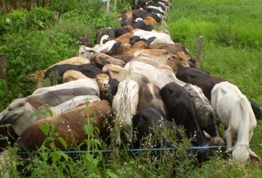 leyes de Voisin ganadería
