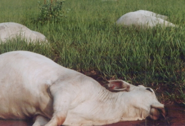 botulismo en ganado