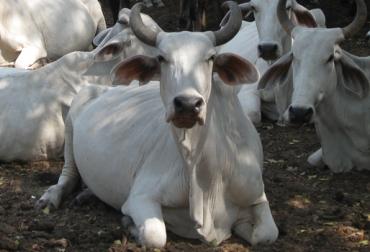 vacas echadas