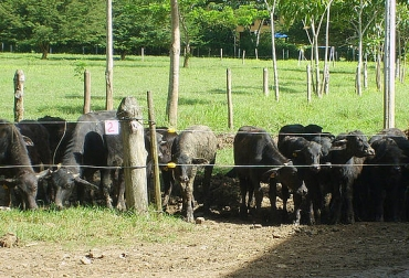 Búfalos en Colombia