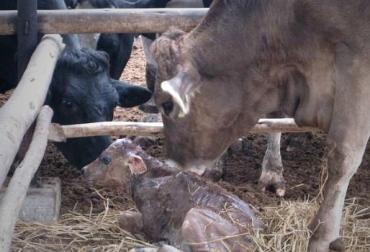 parto y destete vacas