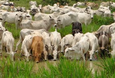 ganado intoxicado