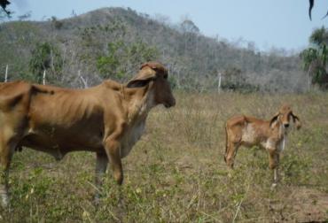 errores ganadería bovina