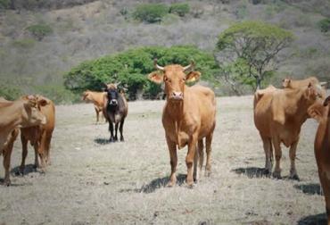 enfermedades bovinos