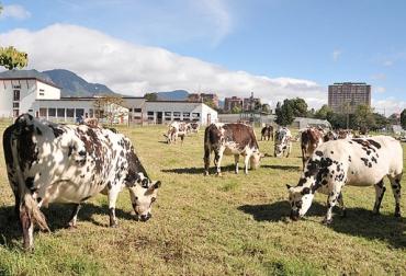 Homeopatía en vacas