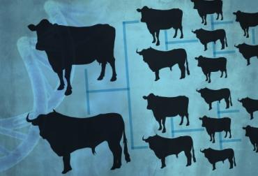 vacas brahman