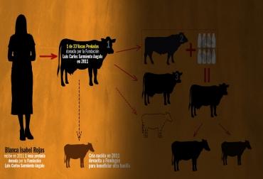 'Una vaca por la paz', multiplicación de vacas