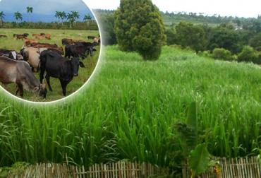 king grass ganadería