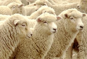 Fertilidad en ovinos