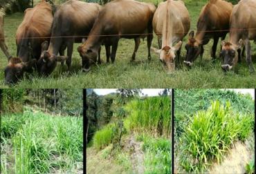 pastos ganadería