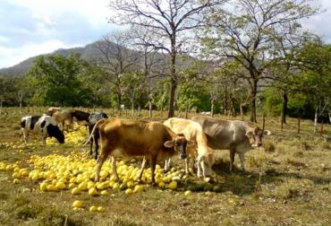 frutos para vacas