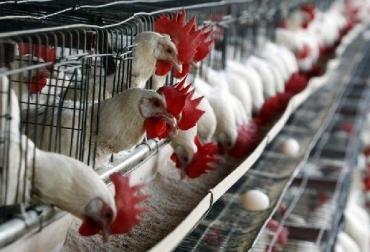 México, influenza aviar, México producción avícola, México reporta hallazgo y cierre de dos focos de influenza aviar, CONtexto ganadero, ganadería Colombia, Noticias ganaderas Colombia