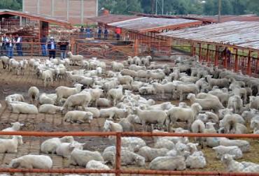 Ovinos, ovinocultura, ovinos méxico, ovinocultura méxico, ovinocultura mexicana, ovinocultura mexicana entre las mejores del mundo, producción ovina, cría de ovinos, ganadería ovina, noticias ganaderas, noticias ganadería, ganadería méxico, ganadería colombia, contexto ganadero, sagarpa