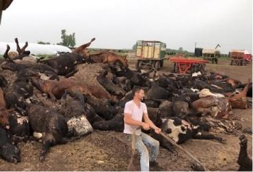 Argentina, mueren cerca de mil bovino, estrés térmico, semilla forrajera de descarte, feedlot, Contexto ganadero, noticias ganaderas, vacas, mueren bovino por estrés térmico.