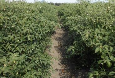 México, chile, chile serrano delgado CHISER-522, chile tolerante a enfermedades y con mayor rendimiento productivo, Contexto ganadero, noticias ganaderas, agricultura