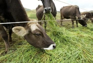 Perú, Los pastos más utilizados en el Perú para la ganadería bovina, gramineas, leguminosas, perulactea,com, contexto ganadero, noticias ganaderas, pastos, vacas