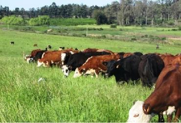 Uruguay, VIII Encuentro Internacional de Pastoreo Voisin, principales GEI; los porcentajes del total y sus orígenes, Gases de Efecto Invernadero, CONtexto ganadero, noticias ganaderas, vacas